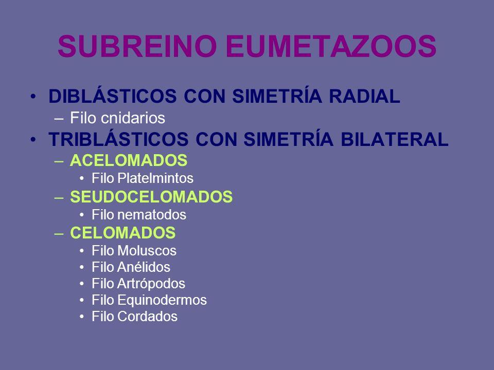 SUBREINO EUMETAZOOS DIBLÁSTICOS CON SIMETRÍA RADIAL –Filo cnidarios TRIBLÁSTICOS CON SIMETRÍA BILATERAL –ACELOMADOS Filo Platelmintos –SEUDOCELOMADOS
