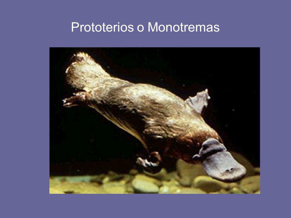 Prototerios o Monotremas