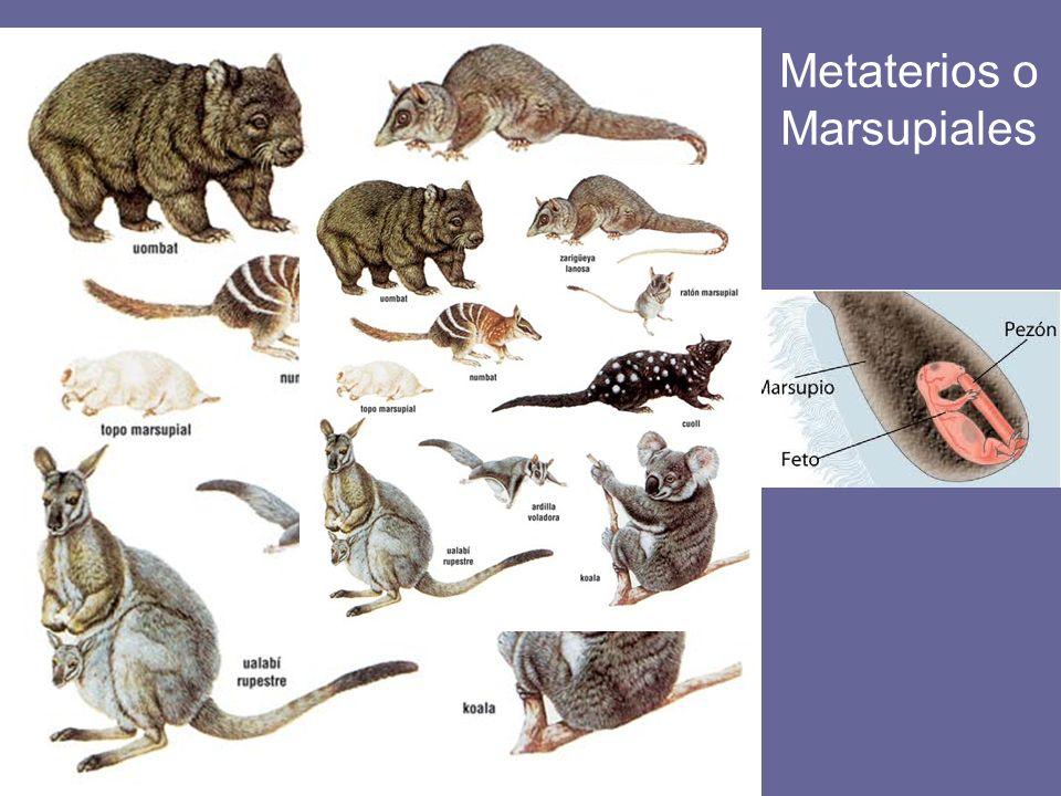 Metaterios o Marsupiales