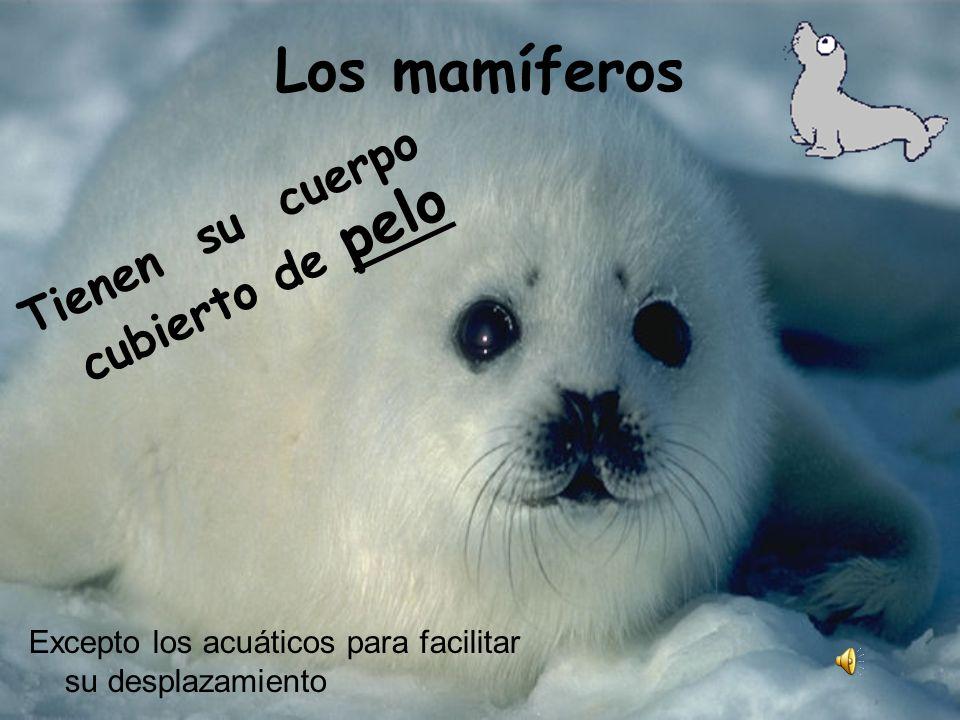 Los mamíferos Tienen su cuerpo cubierto de pelo Excepto los acuáticos para facilitar su desplazamiento