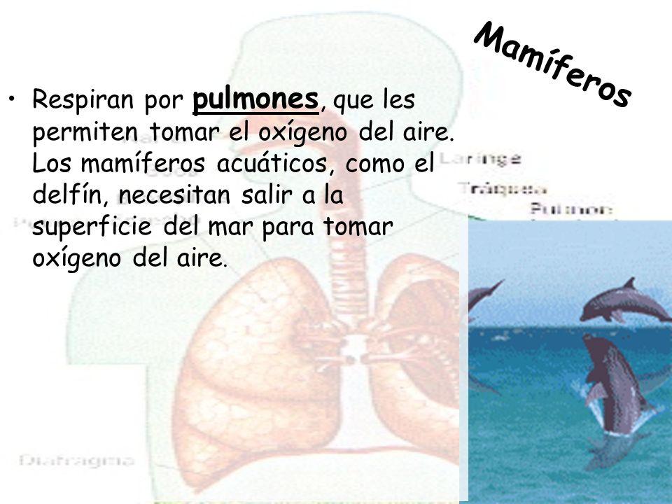 Respiran por pulmones, que les permiten tomar el oxígeno del aire.