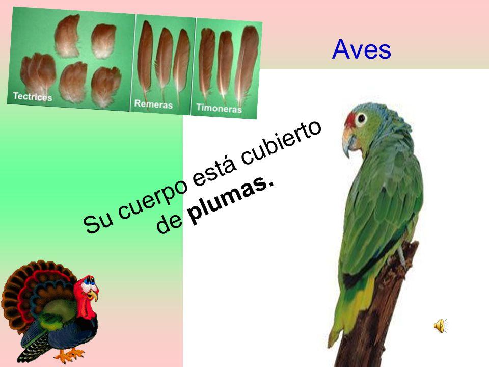 Aves plumas. Su cuerpo está cubierto de plumas.