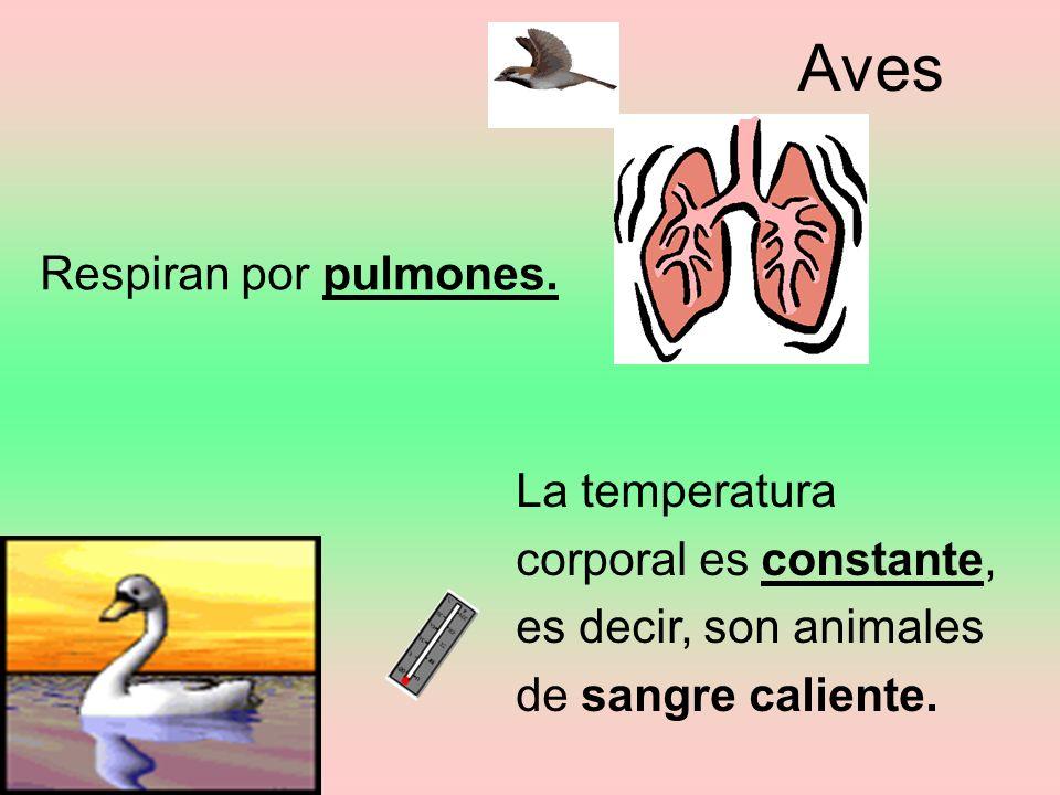 Aves Respiran por pulmones.