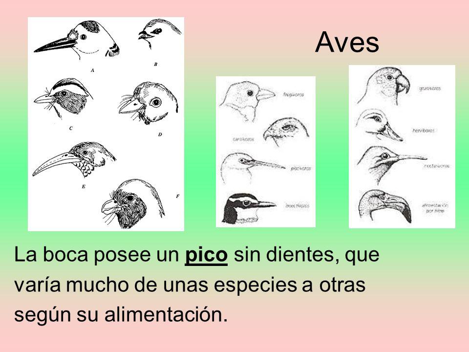 Aves La boca posee un pico sin dientes, que varía mucho de unas especies a otras según su alimentación.