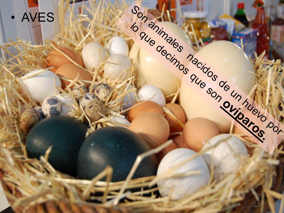 Son animales nacidos de un huevo por lo que decimos que son ovíparos. AVES