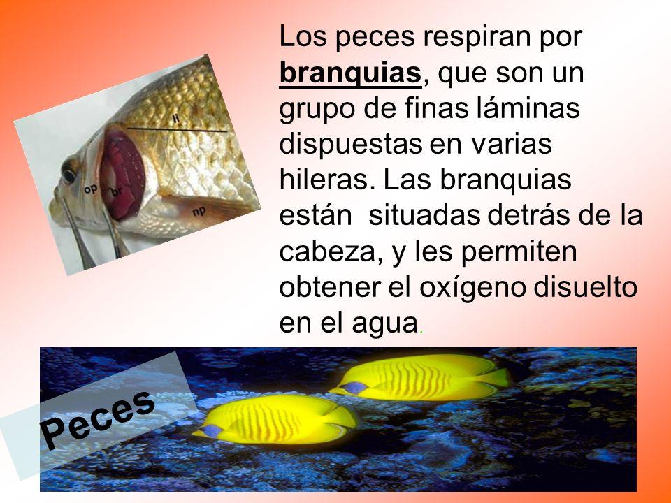 Los peces respiran por branquias, que son un grupo de finas láminas dispuestas en varias hileras.