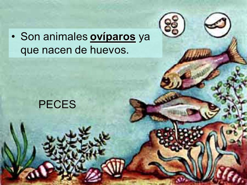 ovíparosSon animales ovíparos ya que nacen de huevos. PECES