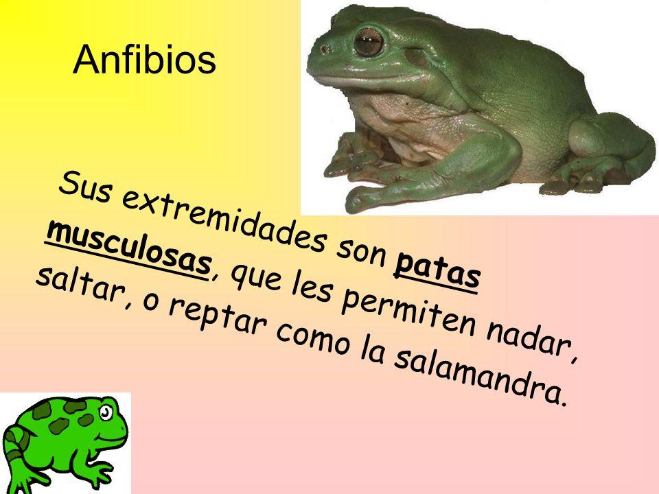 Anfibios Sus extremidades son patas musculosas, que les permiten nadar, saltar, o reptar como la salamandra.