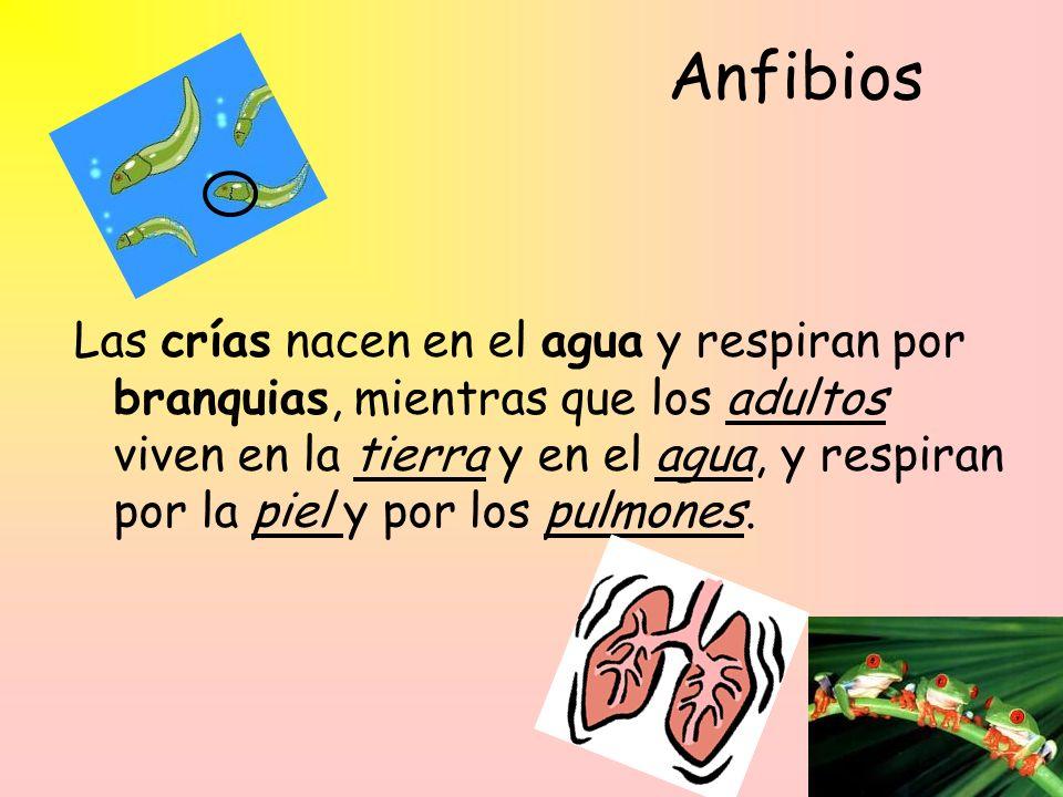 Anfibios Las crías nacen en el agua y respiran por branquias, mientras que los adultos viven en la tierra y en el agua, y respiran por la piel y por los pulmones.