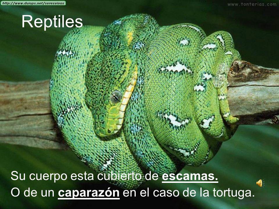 Reptiles Su cuerpo esta cubierto de escamas. O de un caparazón en el caso de la tortuga.