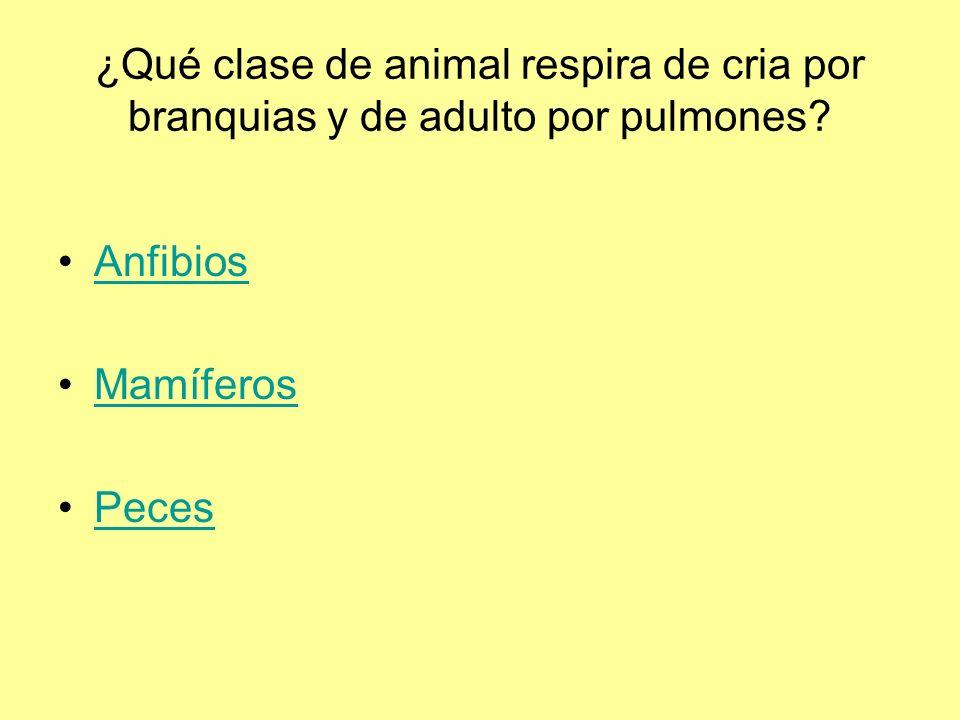 ¿Qué clase de animal respira de cria por branquias y de adulto por pulmones.