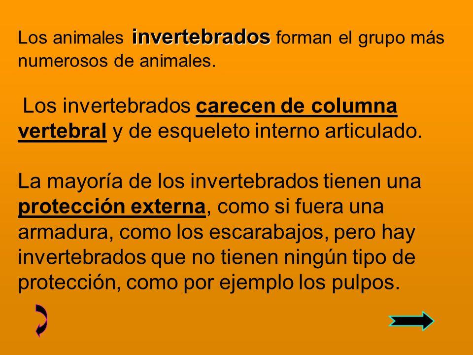 invertebrados Los animales invertebrados forman el grupo más numerosos de animales.