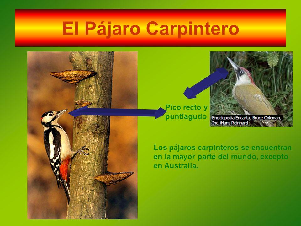 El Pájaro Carpintero Pico recto y puntiagudo Los pájaros carpinteros se encuentran en la mayor parte del mundo, excepto en Australia.