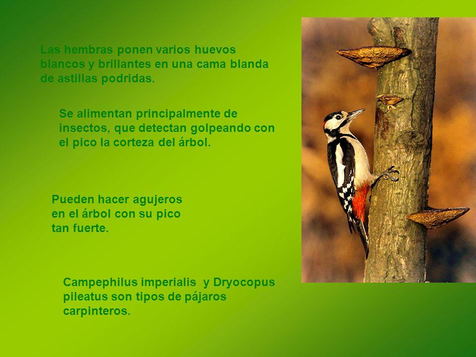 Se alimentan principalmente de insectos, que detectan golpeando con el pico la corteza del árbol. Las hembras ponen varios huevos blancos y brillantes