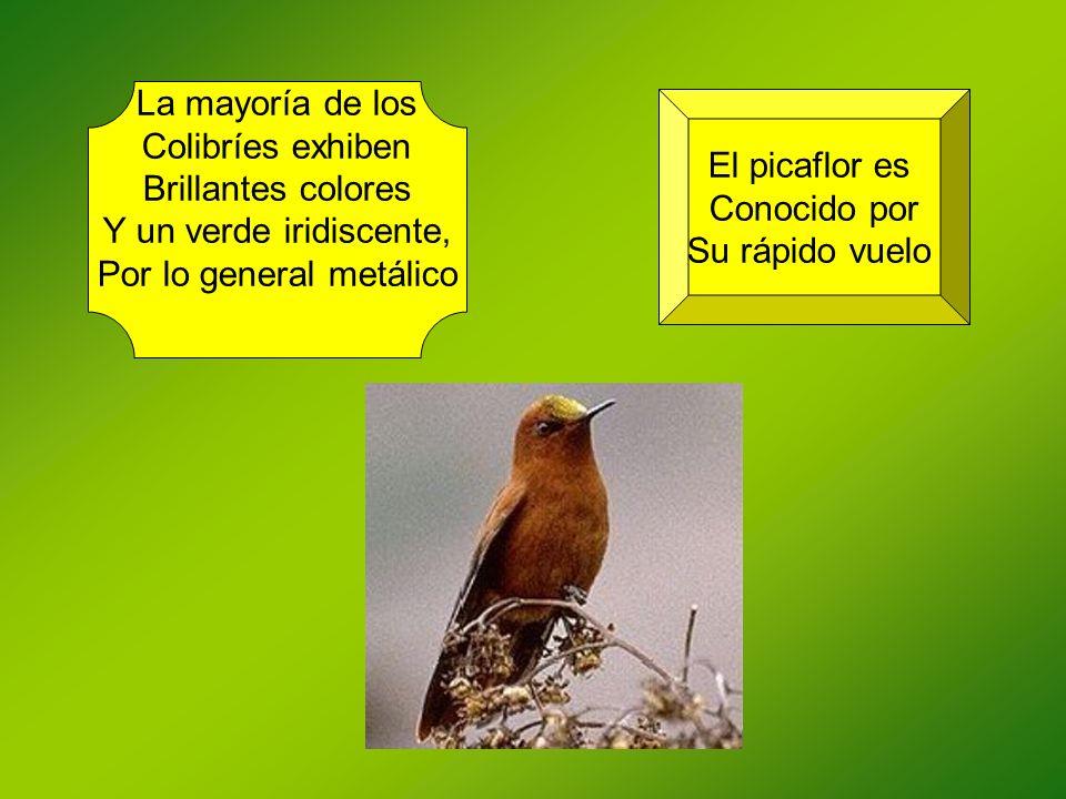 La mayoría de los Colibríes exhiben Brillantes colores Y un verde iridiscente, Por lo general metálico El picaflor es Conocido por Su rápido vuelo