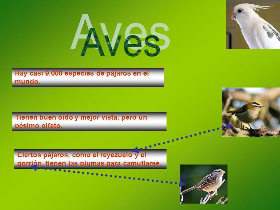 Hay casi 9.000 especies de pájaros en el mundo. Tienen buen oído y mejor vista, pero un pésimo olfato. Ciertos pájaros, como el reyezuelo y el gorrión