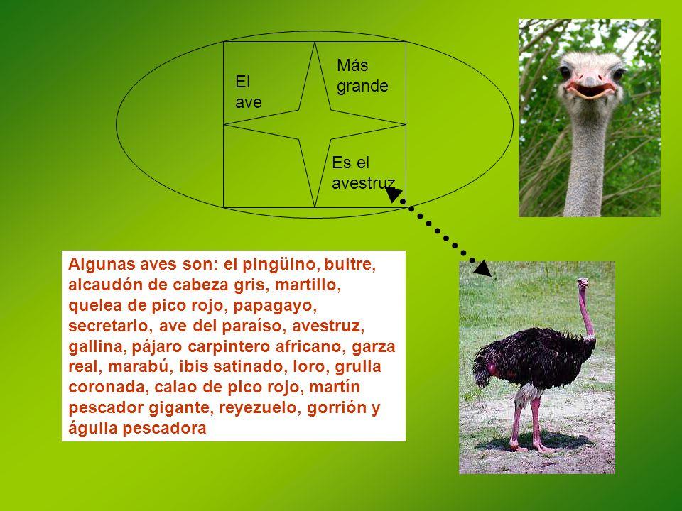 El ave Más grande Es el avestruz Algunas aves son: el pingüino, buitre, alcaudón de cabeza gris, martillo, quelea de pico rojo, papagayo, secretario,