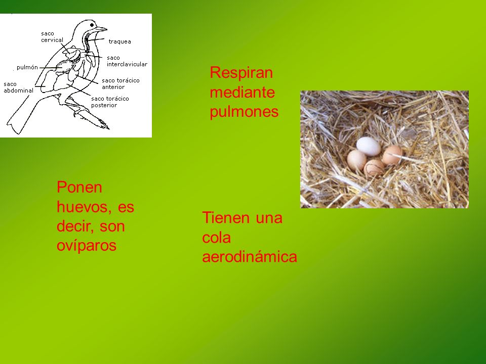Respiran mediante pulmones Tienen una cola aerodinámica Ponen huevos, es decir, son ovíparos