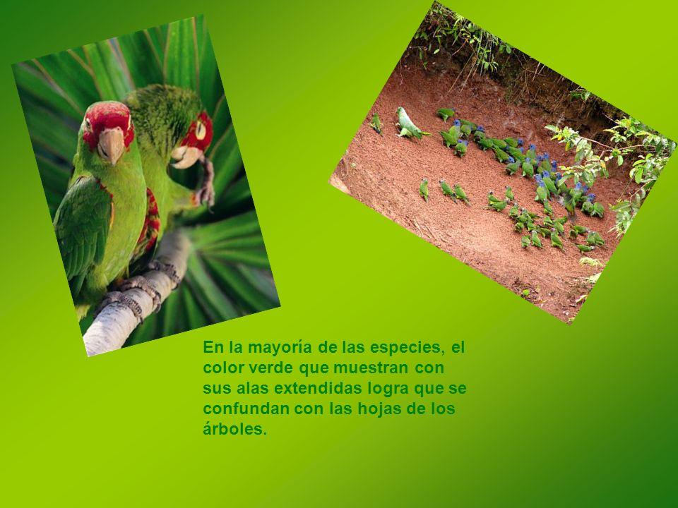 En la mayoría de las especies, el color verde que muestran con sus alas extendidas logra que se confundan con las hojas de los árboles.