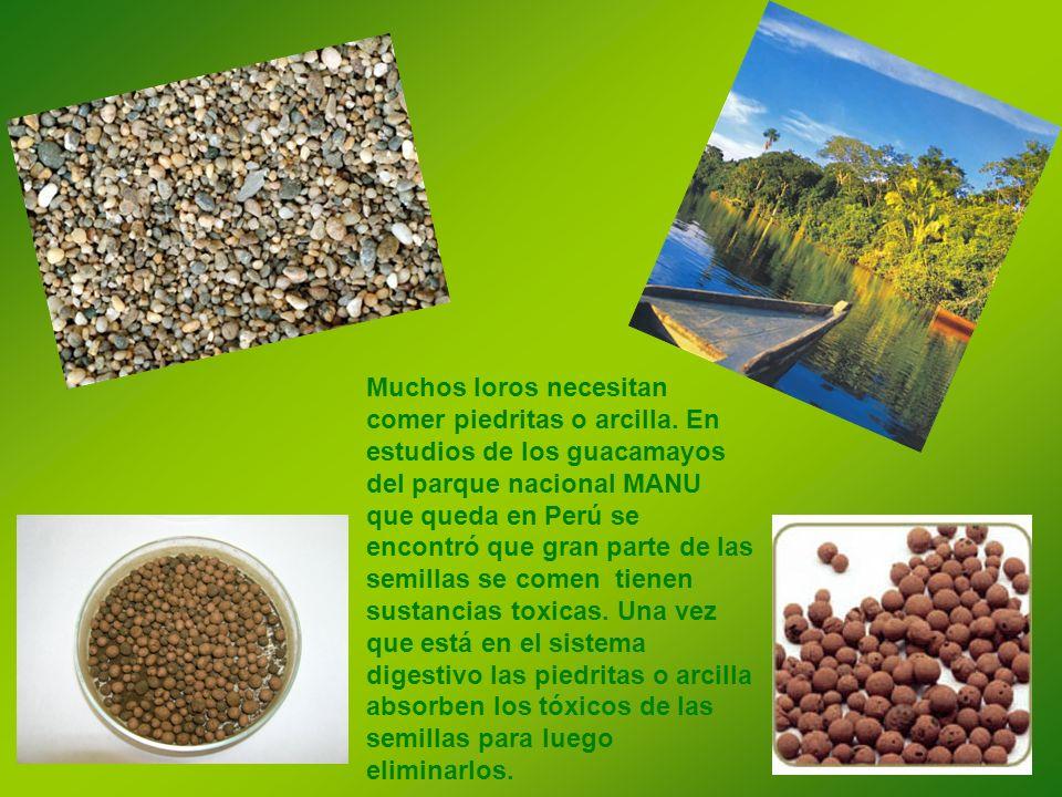 Muchos loros necesitan comer piedritas o arcilla. En estudios de los guacamayos del parque nacional MANU que queda en Perú se encontró que gran parte