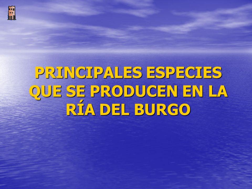 PRINCIPALES ESPECIES QUE SE PRODUCEN EN LA RÍA DEL BURGO