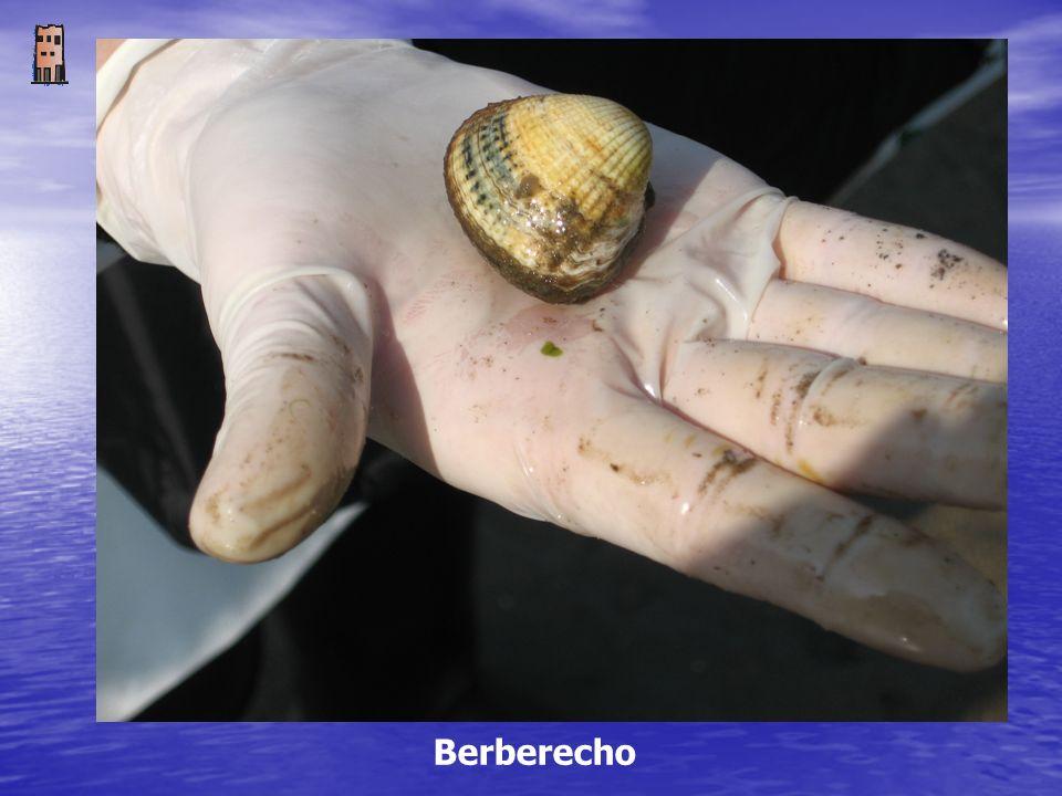 Berberecho