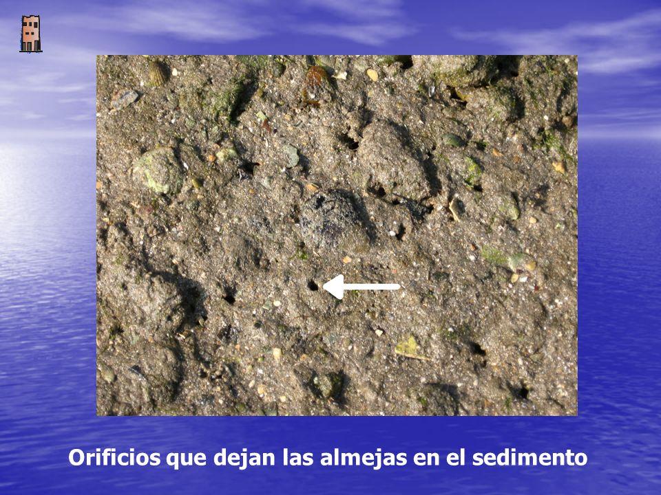 Orificios que dejan las almejas en el sedimento
