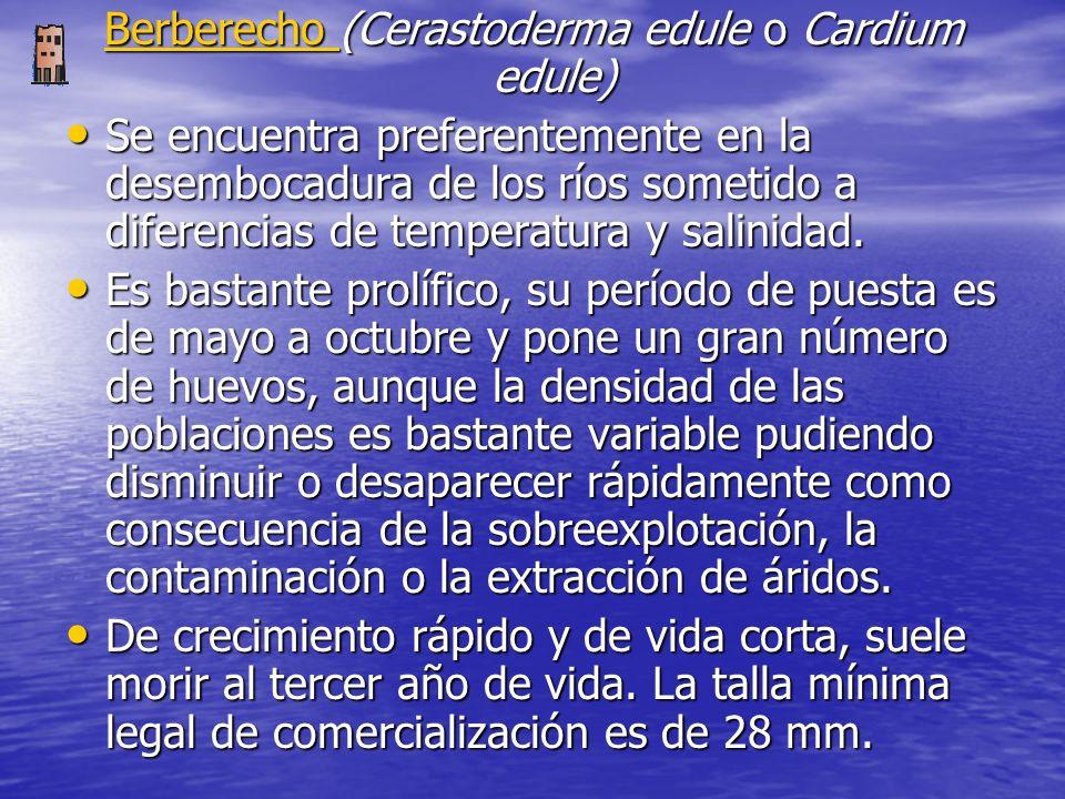 Berberecho (Cerastoderma edule o Cardium edule) Se encuentra preferentemente en la desembocadura de los ríos sometido a diferencias de temperatura y salinidad.