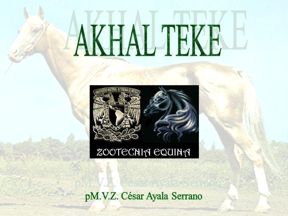El Akhal-Teke es un caballo procedente de Turkmenistán.