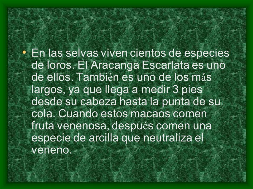 En las selvas viven cientos de especies de loros. El Aracanga Escarlata es uno de ellos. Tambi é n es uno de los m á s largos, ya que llega a medir 3