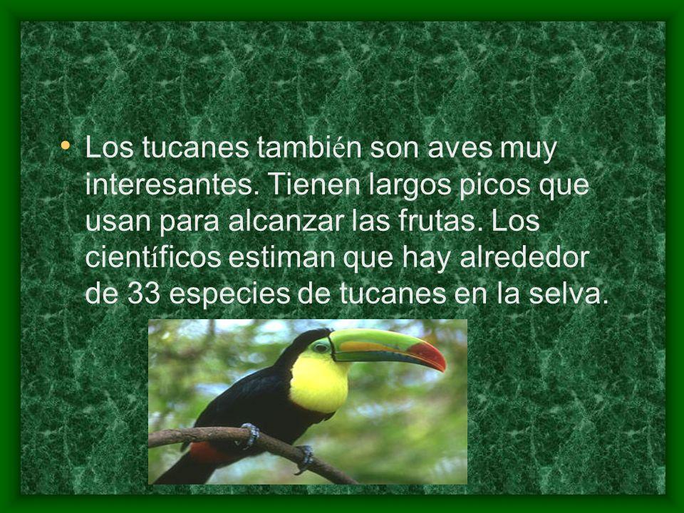 Los tucanes tambi é n son aves muy interesantes. Tienen largos picos que usan para alcanzar las frutas. Los cient í ficos estiman que hay alrededor de