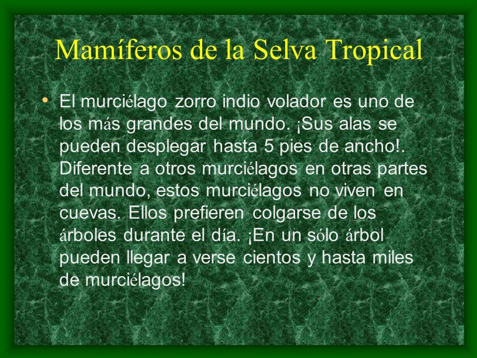Mamíferos de la Selva Tropical El murci é lago zorro indio volador es uno de los m á s grandes del mundo. ¡ Sus alas se pueden desplegar hasta 5 pies