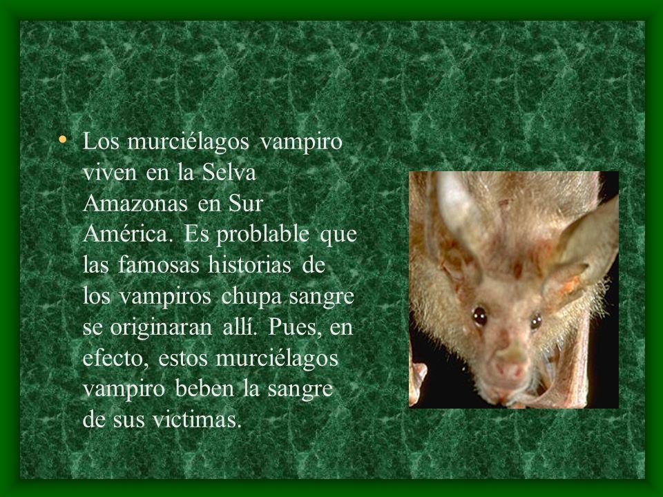 Los murciélagos vampiro viven en la Selva Amazonas en Sur América. Es problable que las famosas historias de los vampiros chupa sangre se originaran a