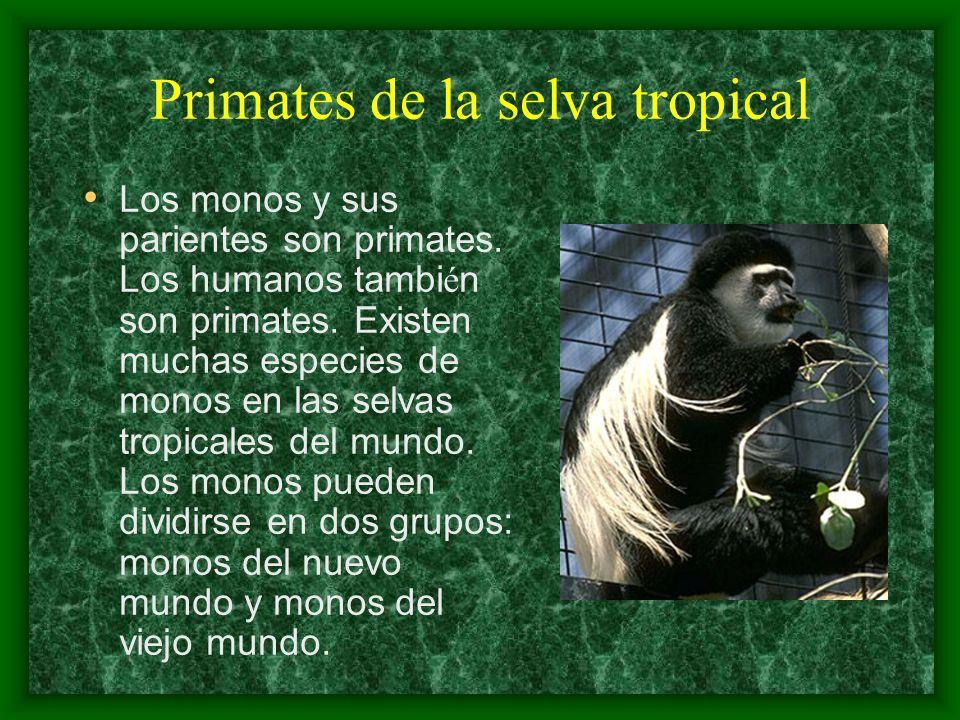 Primates de la selva tropical Los monos y sus parientes son primates. Los humanos tambi é n son primates. Existen muchas especies de monos en las selv