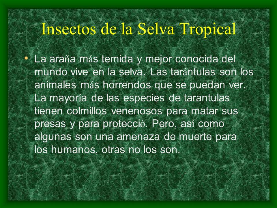 Insectos de la Selva Tropical La ara ñ a m á s temida y mejor conocida del mundo vive en la selva. Las tar á ntulas son los animales m á s horrendos q
