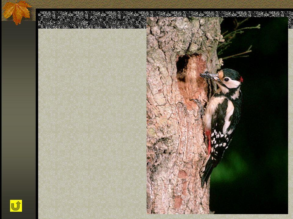 Mi nombre es Pico picapinos, y soy un pájaro carpintero. En primavera podrás escuchar mis tamborileos mientras golpeo la madera para construir mi nido