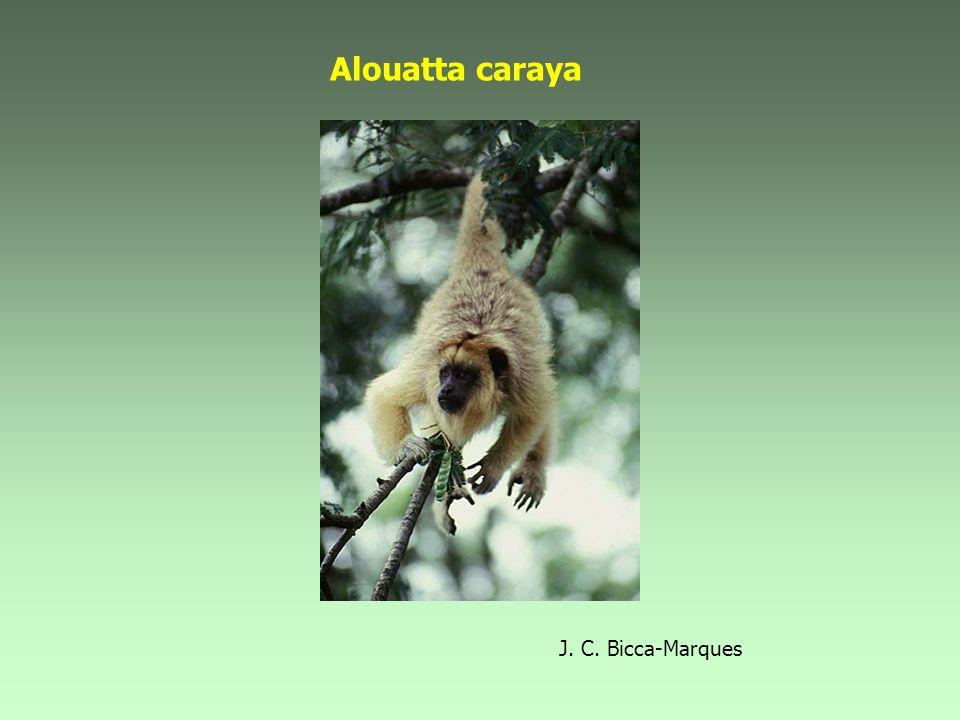 Alouatta caraya J. C. Bicca-Marques