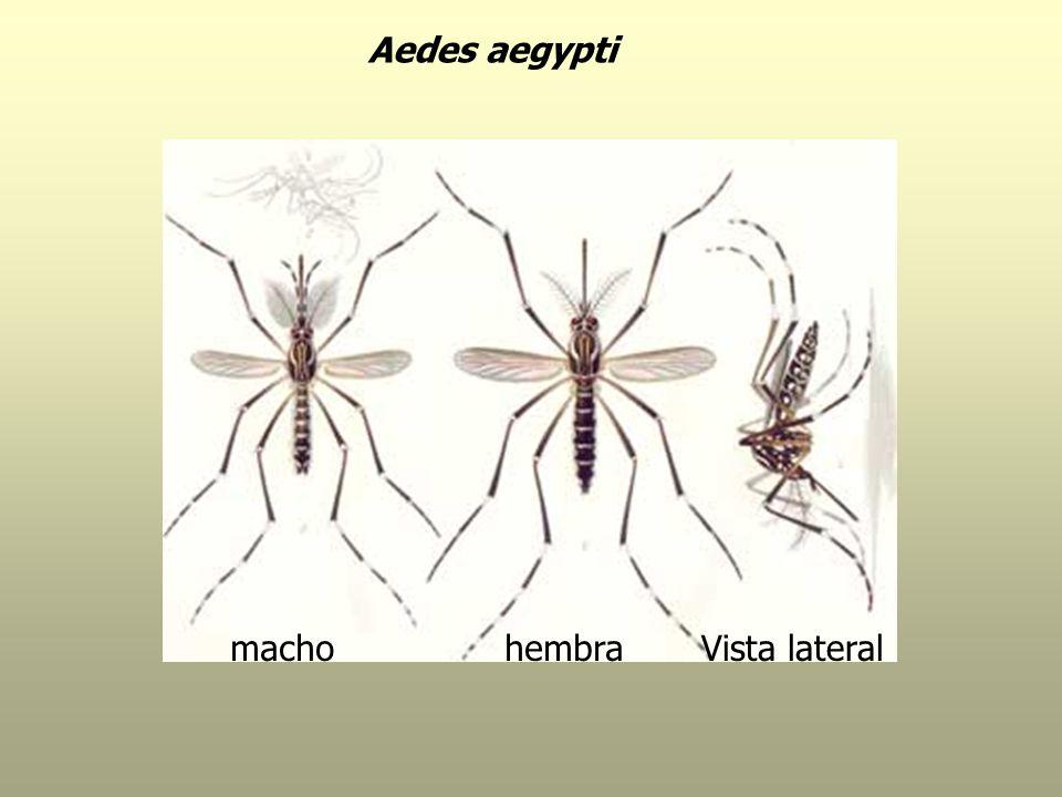 Aedes aegypti machohembraVista lateral