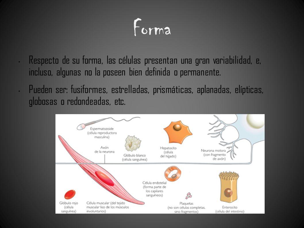 Forma Respecto de su forma, las células presentan una gran variabilidad, e, incluso, algunas no la poseen bien definida o permanente. Pueden ser: fusi