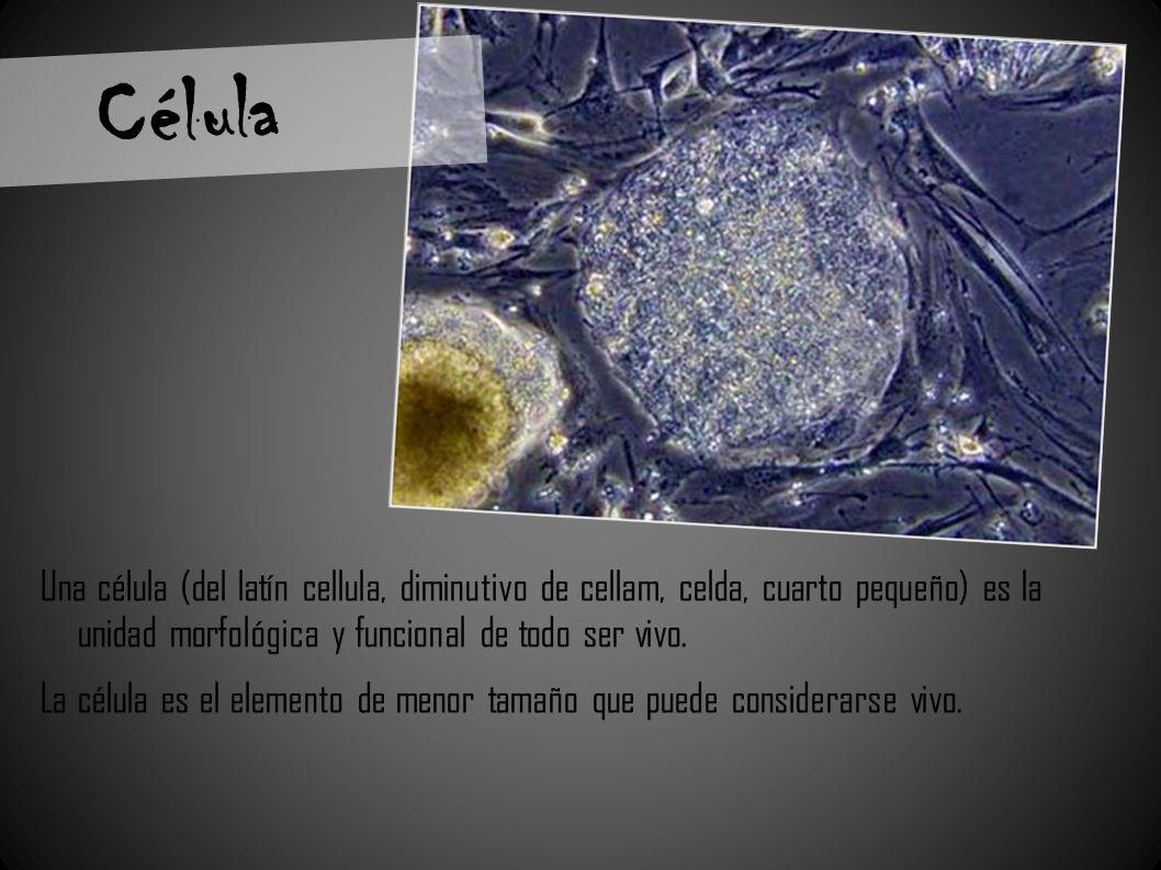 Célula Una célula (del latín cellula, diminutivo de cellam, celda, cuarto pequeño) es la unidad morfológica y funcional de todo ser vivo. La célula es