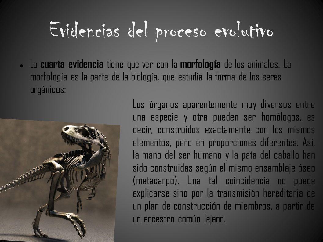 Evidencias del proceso evolutivo La cuarta evidencia tiene que ver con la morfología de los animales. La morfología es la parte de la biología, que es
