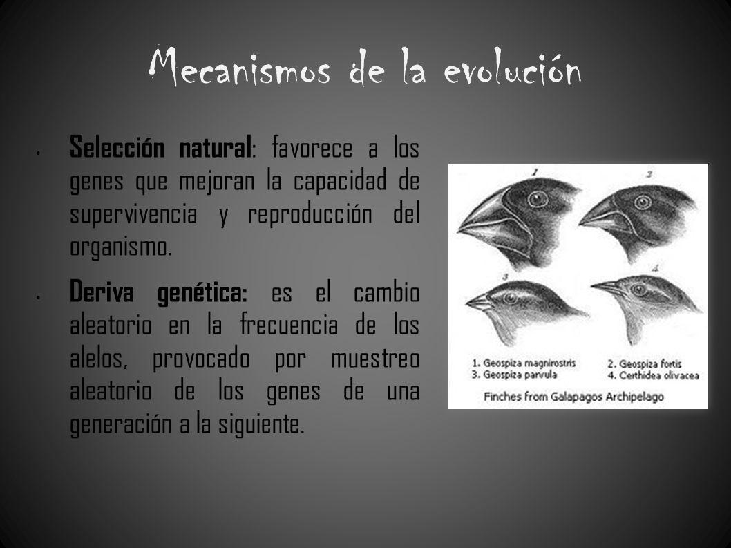Mecanismos de la evolución Selección natural : favorece a los genes que mejoran la capacidad de supervivencia y reproducción del organismo. Deriva gen