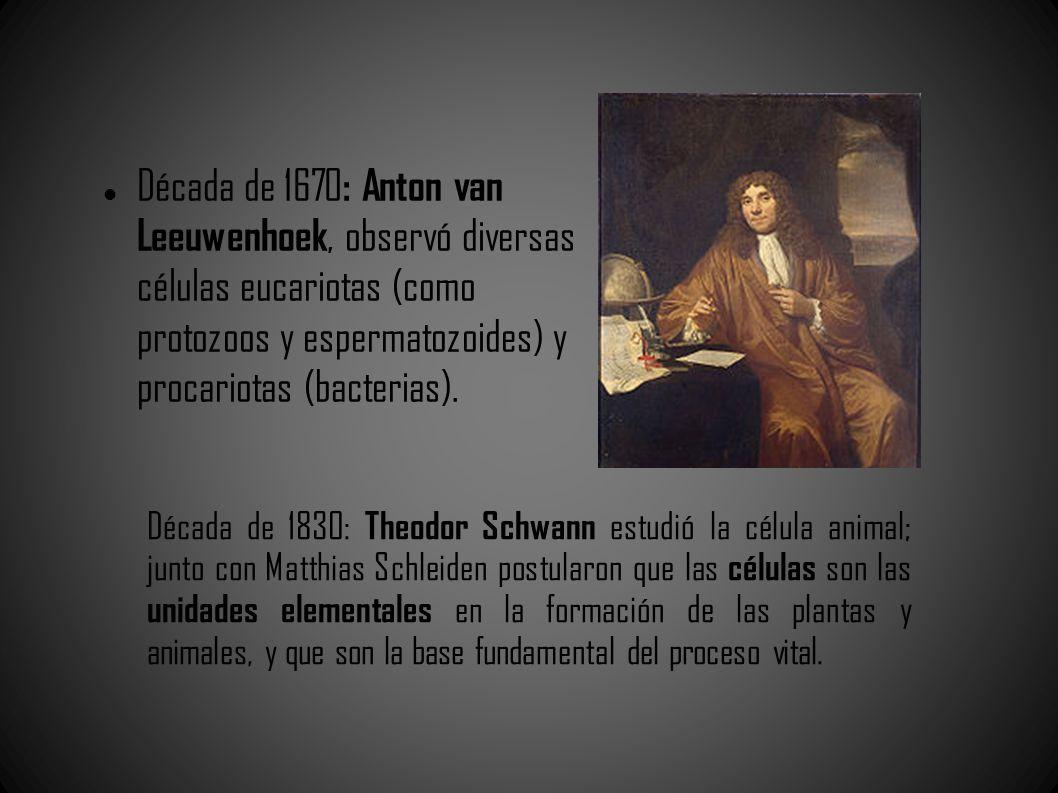 Década de 1670 : Anton van Leeuwenhoek, observó diversas células eucariotas (como protozoos y espermatozoides) y procariotas (bacterias). Década de 18