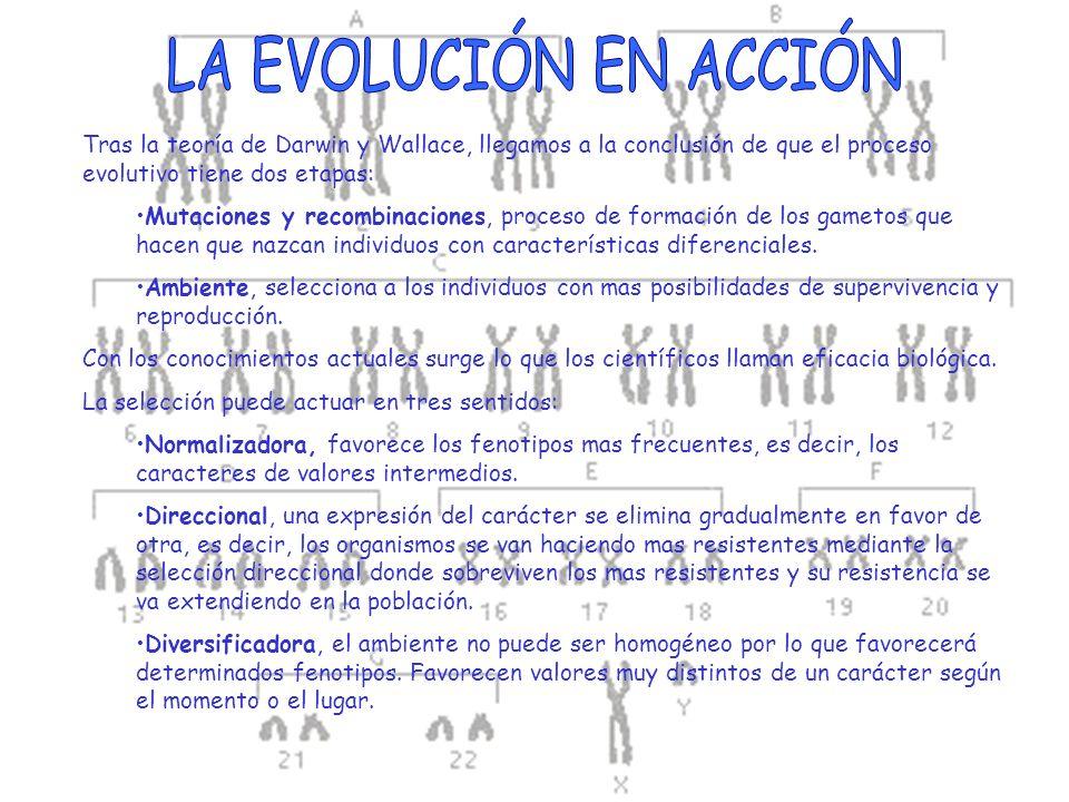 Tras la teoría de Darwin y Wallace, llegamos a la conclusión de que el proceso evolutivo tiene dos etapas: Mutaciones y recombinaciones, proceso de fo
