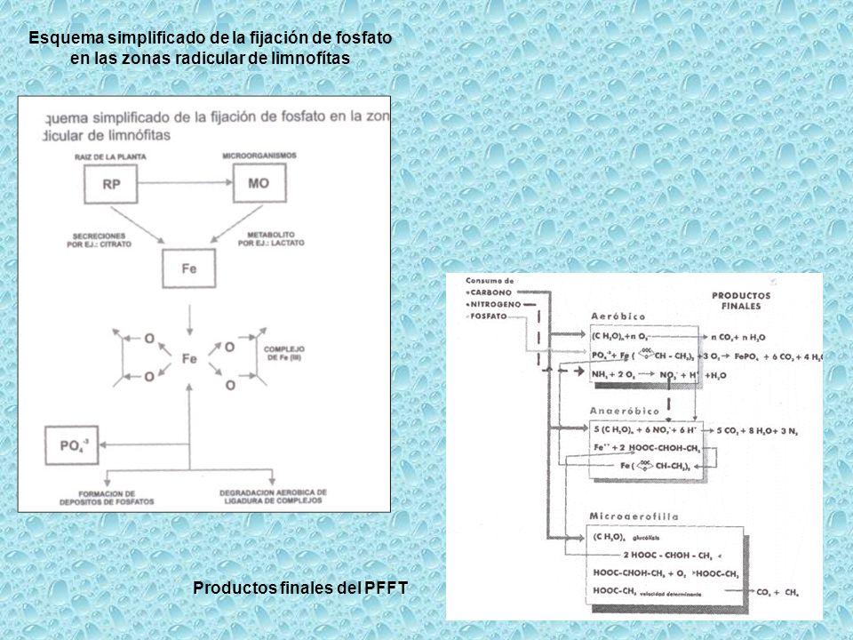 Esquema simplificado de la fijación de fosfato en las zonas radicular de limnofítas Productos finales del PFFT
