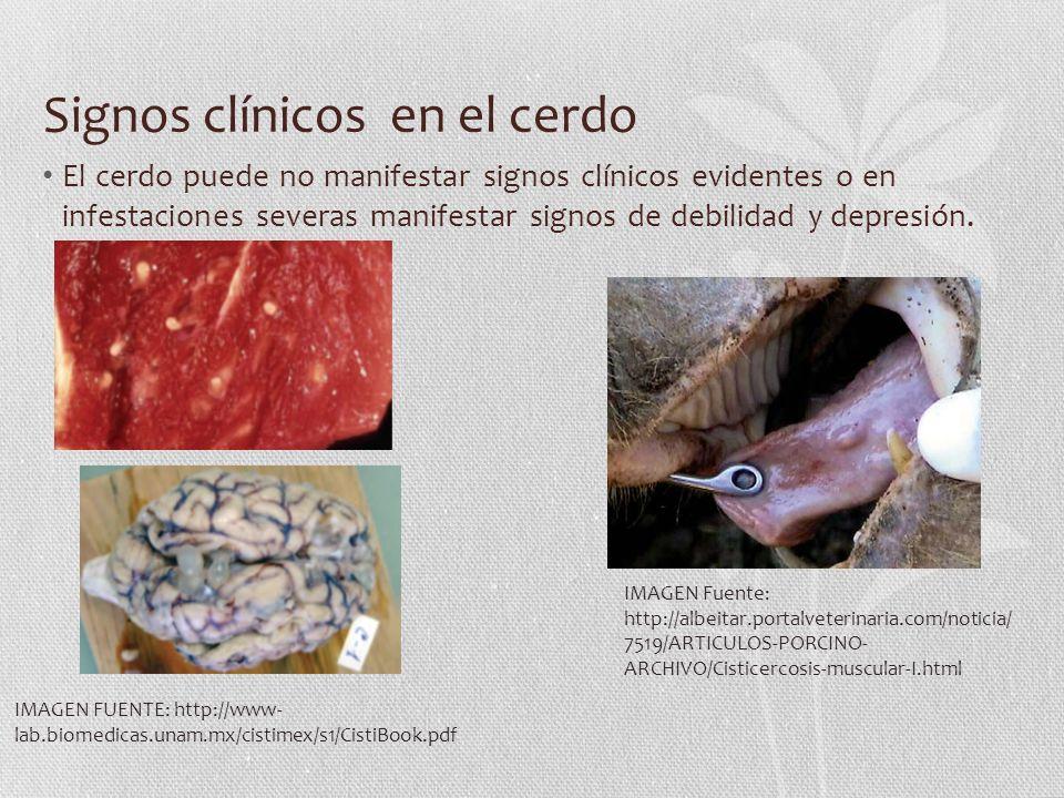 Signos clínicos en el cerdo El cerdo puede no manifestar signos clínicos evidentes o en infestaciones severas manifestar signos de debilidad y depresi
