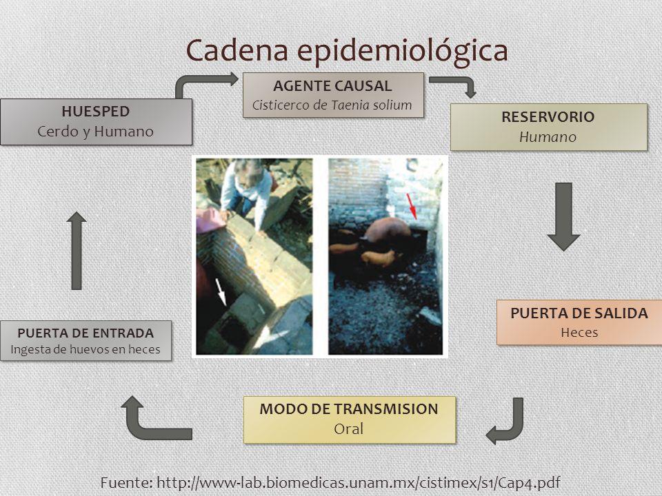 Cadena epidemiológica AGENTE CAUSAL Cisticerco de Taenia solium AGENTE CAUSAL Cisticerco de Taenia solium RESERVORIO Humano RESERVORIO Humano PUERTA D