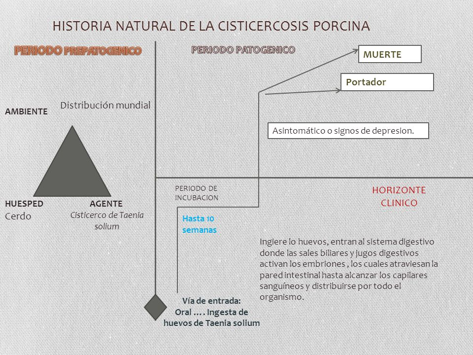 HISTORIA NATURAL DE LA CISTICERCOSIS PORCINA AGENTE Cisticerco de Taenia solium AMBIENTE HUESPED Vía de entrada: Oral ….