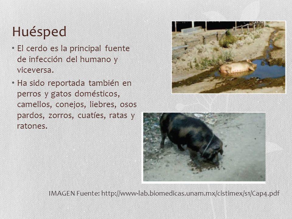 Huésped El cerdo es la principal fuente de infección del humano y viceversa. Ha sido reportada también en perros y gatos domésticos, camellos, conejos