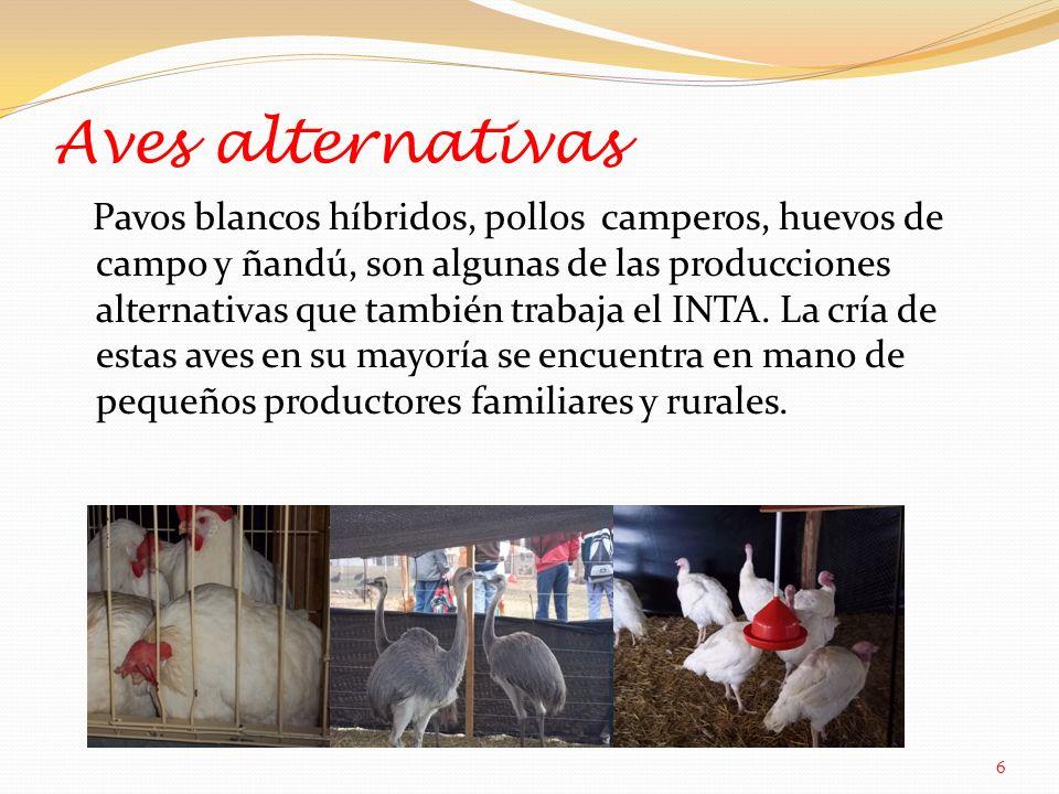 Aves alternativas Pavos blancos híbridos, pollos camperos, huevos de campo y ñandú, son algunas de las producciones alternativas que también trabaja el INTA.